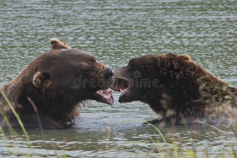 Alaskabo brunbjörn - grisslybjörn - ursusarctos royaltyfri foto