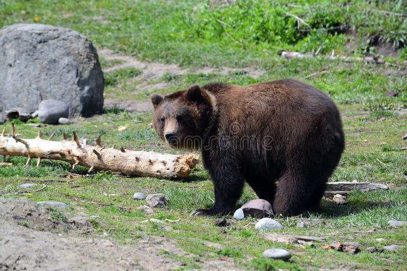 Alaskabo brunbjörn i äng royaltyfri bild