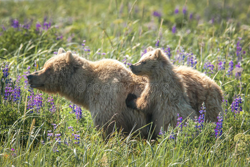 Alaskabo brunbjörnar royaltyfria foton