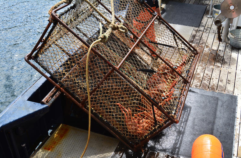 Alaskabo konung Crab Caught i kruka royaltyfri foto