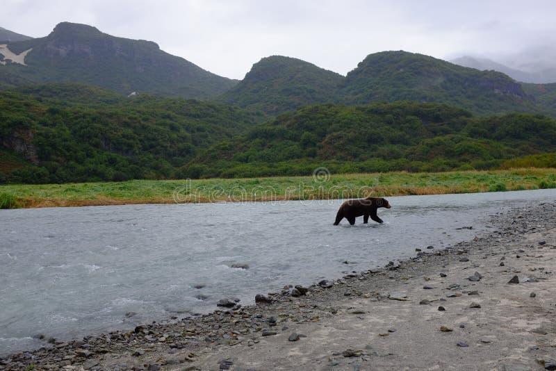 Alaskabo kust- brunbjörn, Katmai royaltyfri fotografi