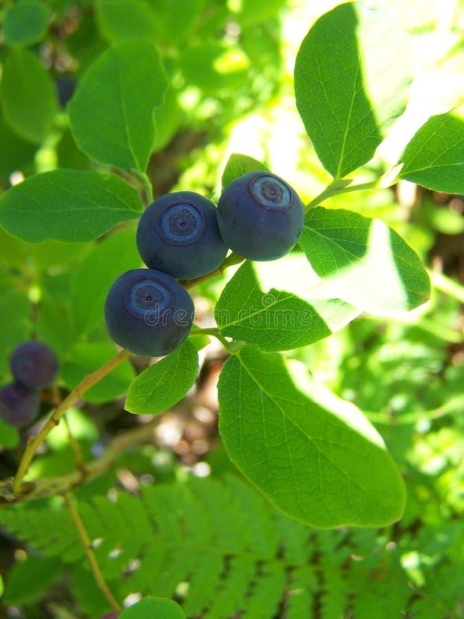 Alaskabo löst blåbär i frukt royaltyfria foton