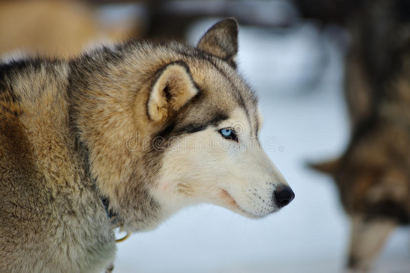 Alaskabo Malamute i snön royaltyfri foto
