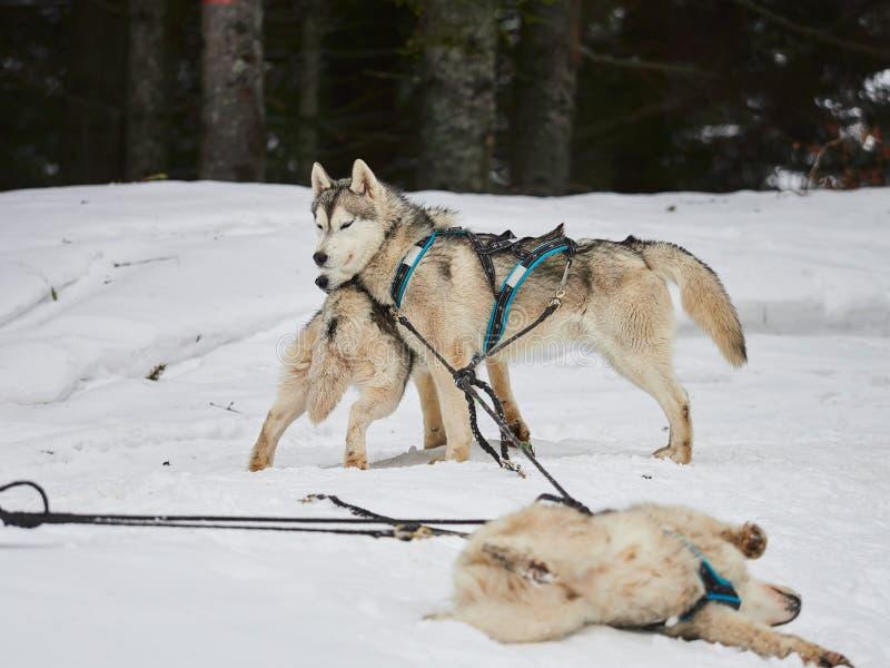 Alaskabo malamutes på sleddogkonkurrens royaltyfri fotografi