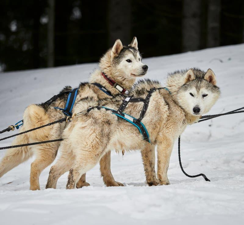 Alaskabo malamutes på sleddogkonkurrens royaltyfri bild