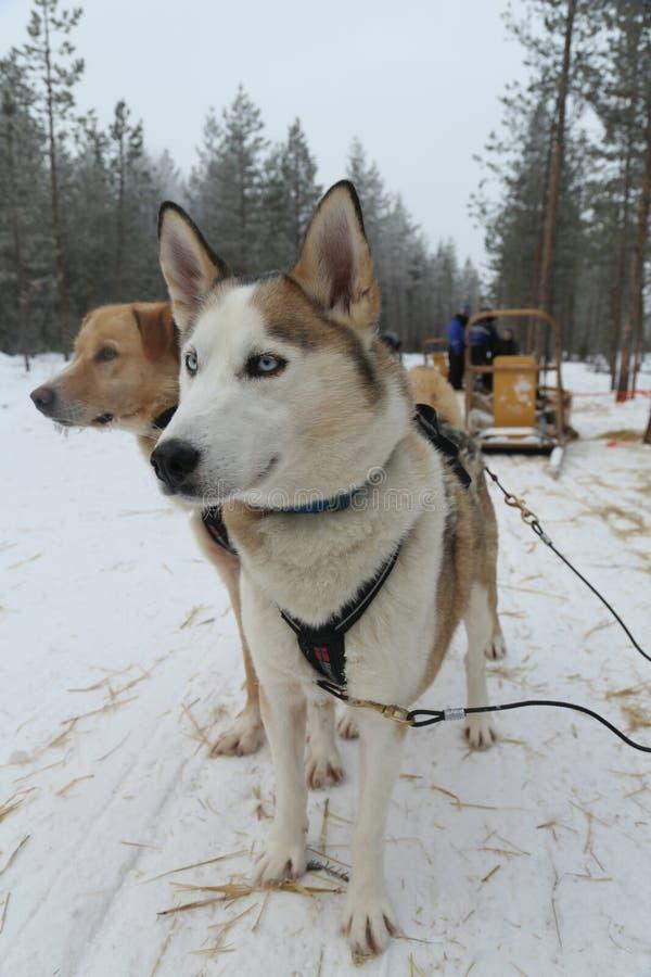 Alaskabo skrovligt på det Musher lägret i finlandssvensk Lapland huvudstad Rovaniemi arkivbild