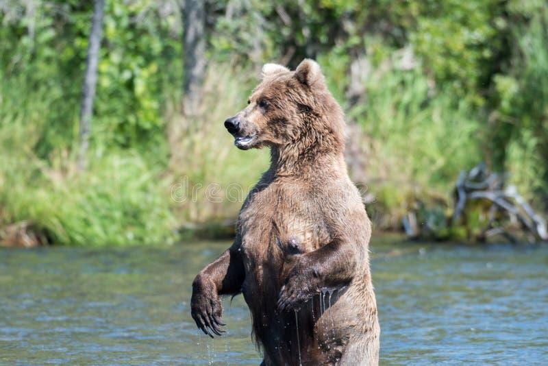 Alaskabo stå för brunbjörn arkivbilder