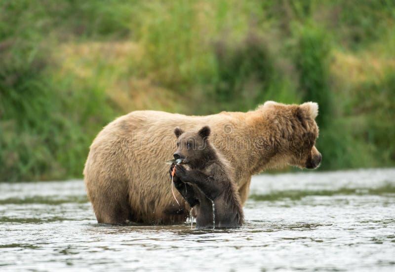alaskabo sugga för björnbrowngröngöling arkivfoto