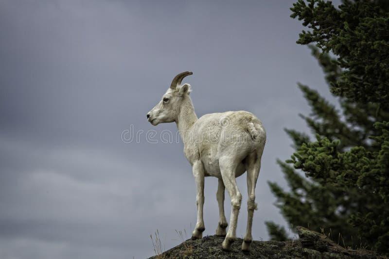 AlaskaboDall tacka fotografering för bildbyråer