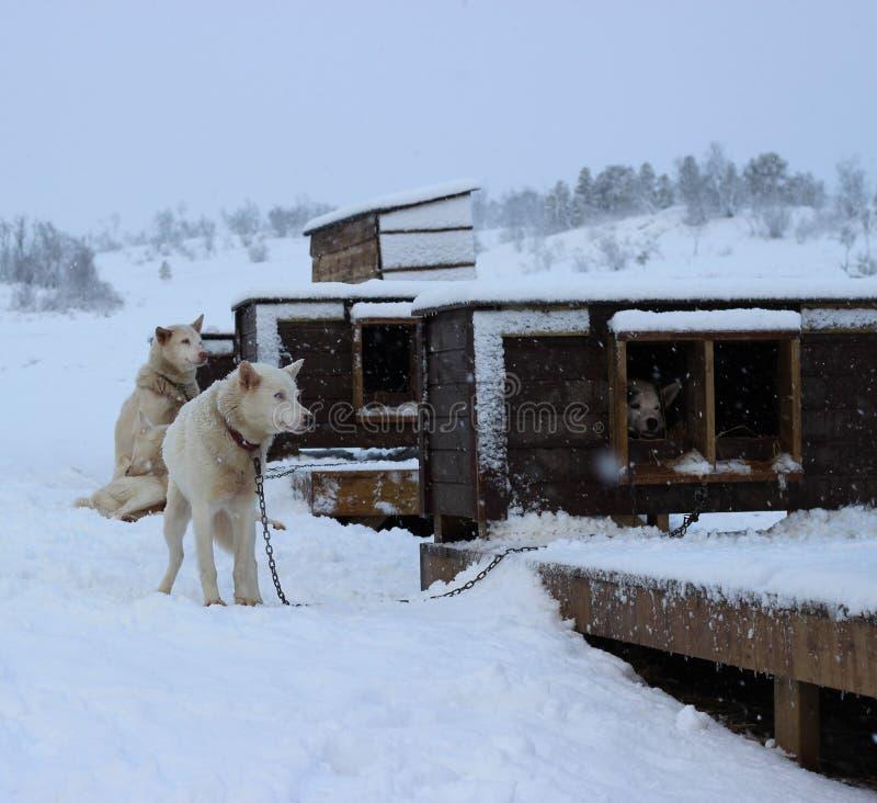 AlaskaboHusky Sled hundkapplöpning arkivbild