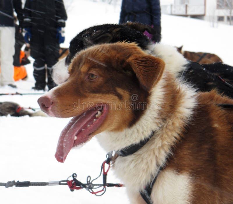 AlaskaboHusky Sled hundkapplöpning arkivbilder