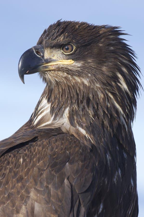 Alaskan Bald Eagle royalty free stock image