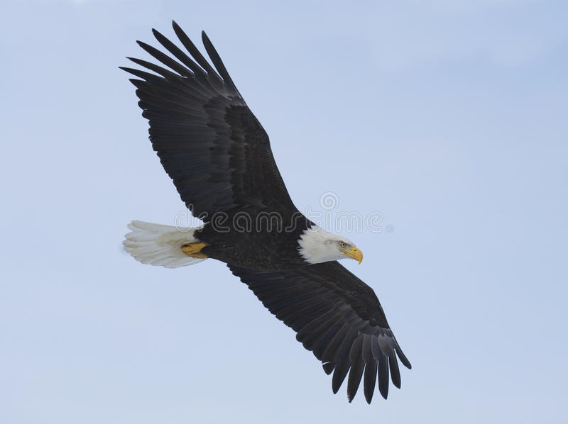 Alaskan Bald Eagle royalty free stock images