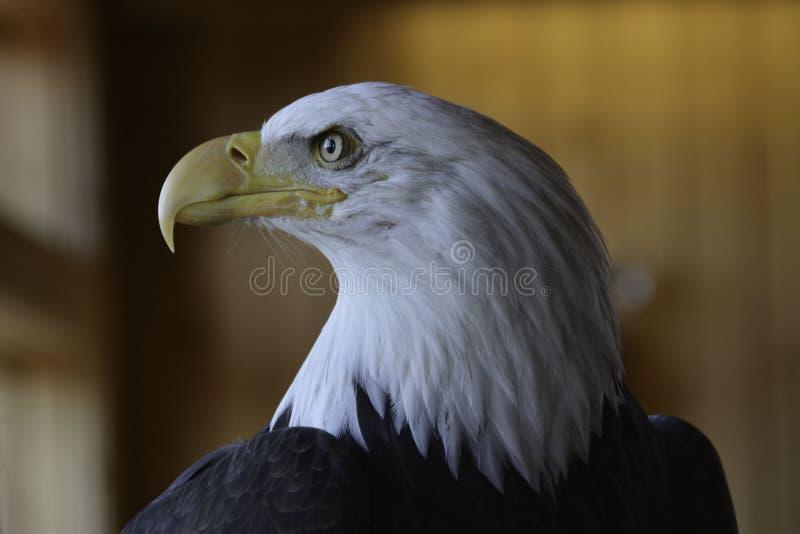 Alaskan bald eagle royalty free stock photos