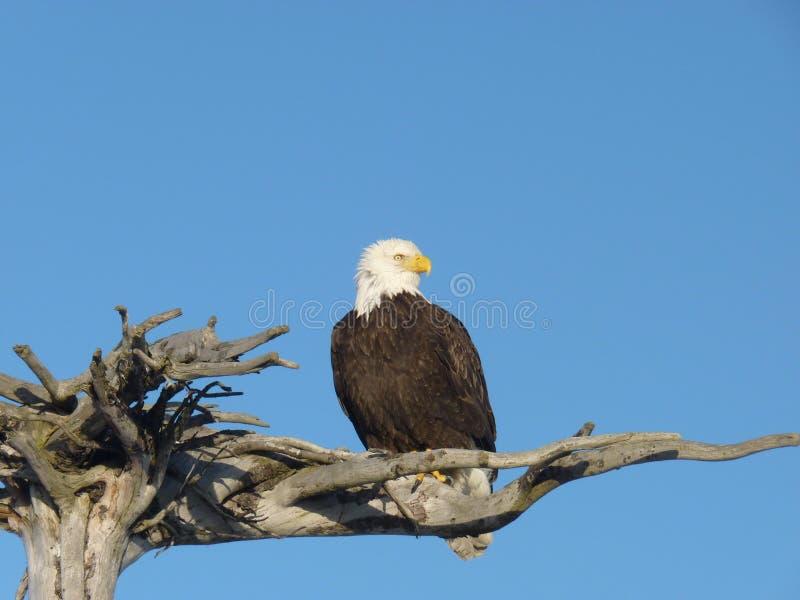 Alaskan bald eagle on wooden perch stock photos