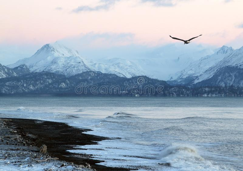 Alaskan beach at sunset with flying eagle. Pink glow of sunset on an Alaskan beach in winter with a flying eagle and mountains in the background royalty free stock image
