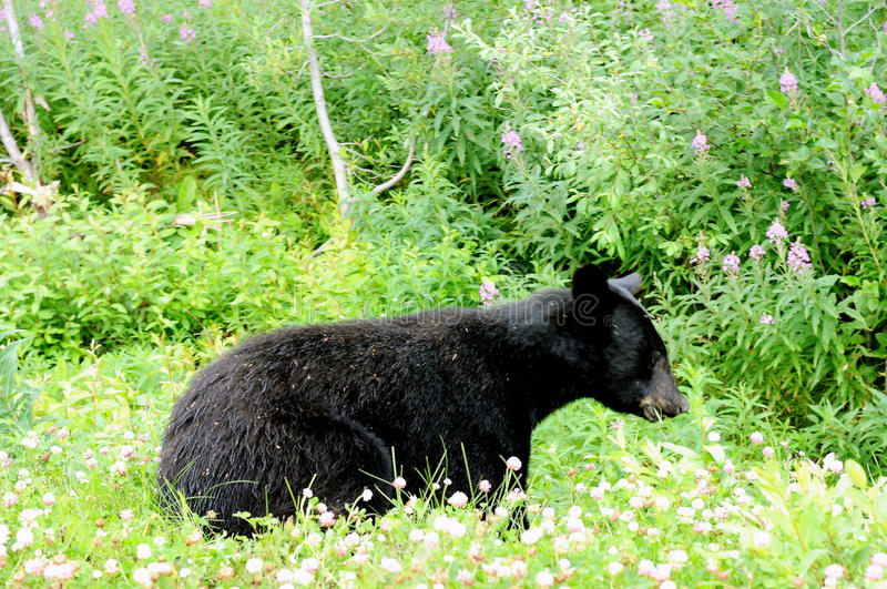 Alaskan Black Bear. Black bear munching on flowers along Cassiar Highway 37 in British Columbia near the town of Stewart royalty free stock photo