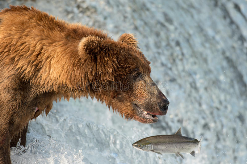 Alaskan brown bear attempting to catch salmon stock photography
