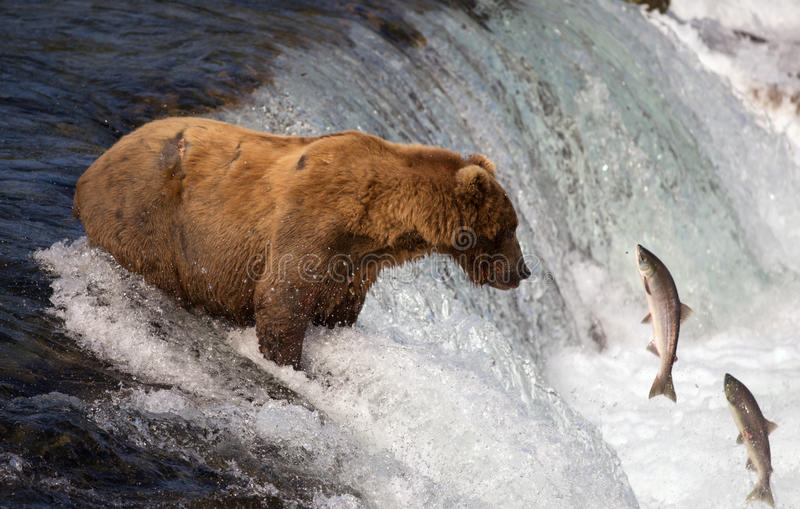 Alaskan brown bear catching salmon stock photography
