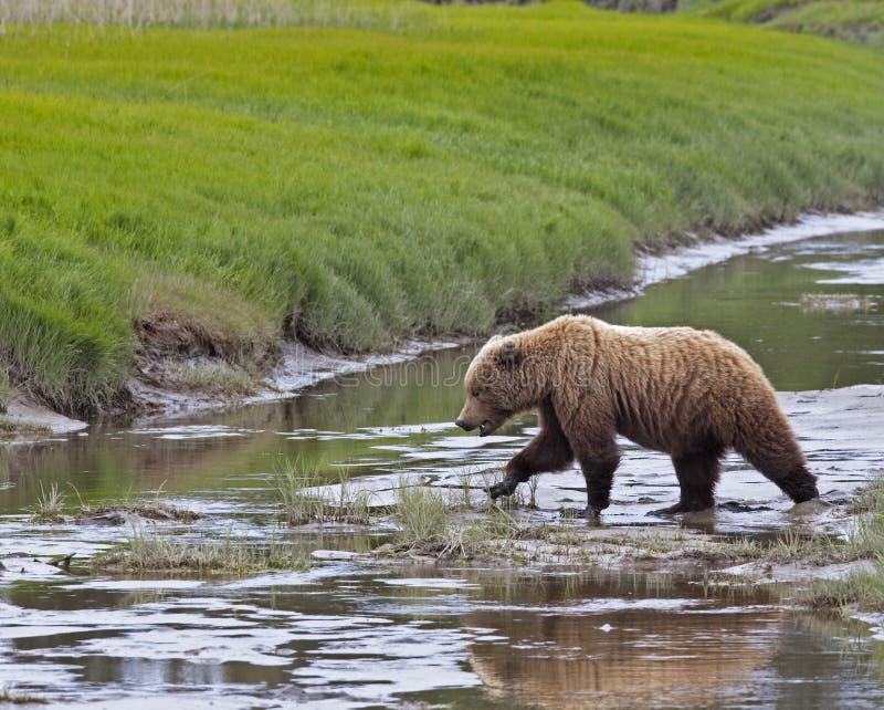 Download Alaskan Brown Bear Crossing Creek Stock Image - Image: 12598445