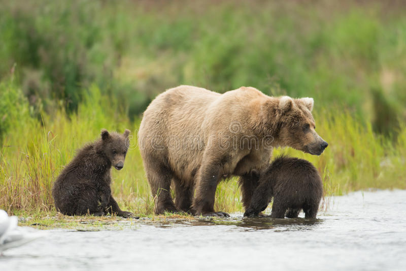 Alaskan brown bear and cubs royalty free stock photos