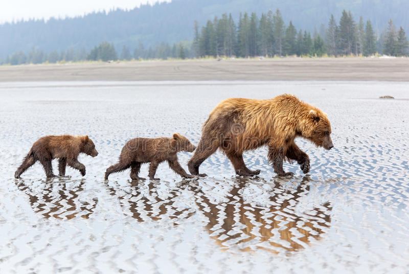 Alaskan Brown Bear family on the beach. Female brown bear and her two cubs walk on the beach at Lake Clark National Park stock photography