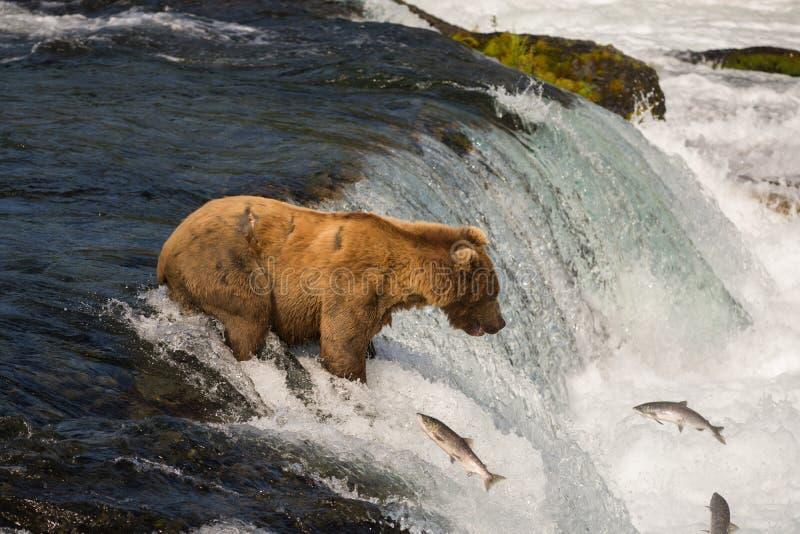 Alaskan brown bear fishing for salmon stock photography