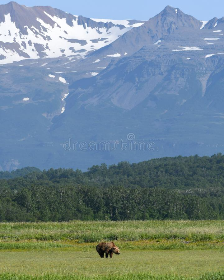 An Alaskan Brown Bear grazes with snowy mountains in the background in the Katmai National Park. An Alaskan Brown Bear grazes in a field in the Katmai National stock photo
