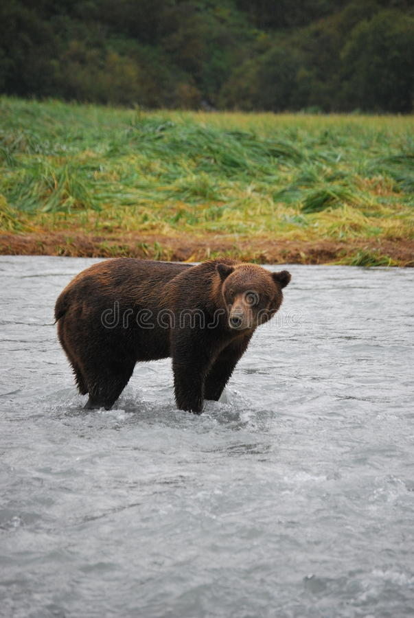 Alaskan Brown Bear/Grizzly stock images
