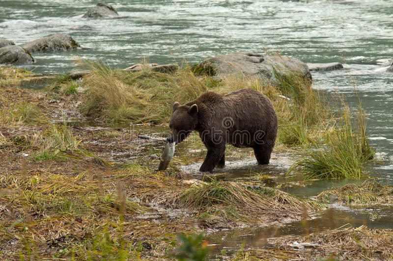 Alaskan Brown Bear hauls fresh salmon catch to shore. Chilkoot River royalty free stock photos