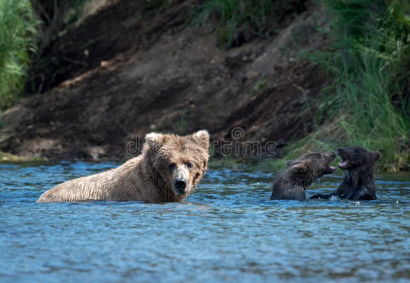 Alaskan brown bear royalty free stock images
