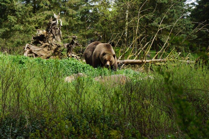 Alaskan Brown Bear stock image