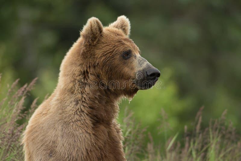 Alaskan brown bear sow royalty free stock image