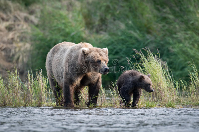 Alaskan brown bear sow and cub royalty free stock photos