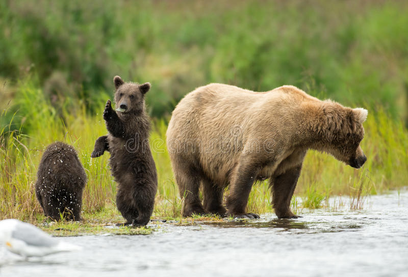 Alaskan brown bear sow and cub royalty free stock images