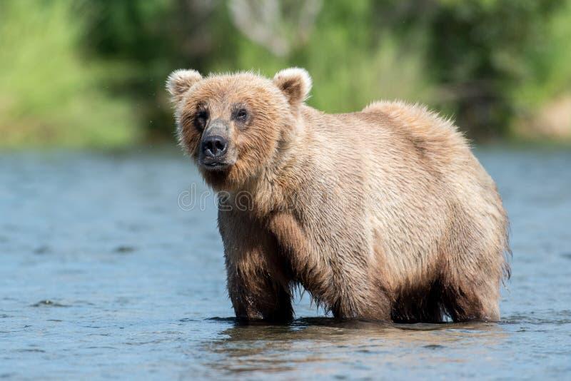 Alaskan brown bear sow royalty free stock photos