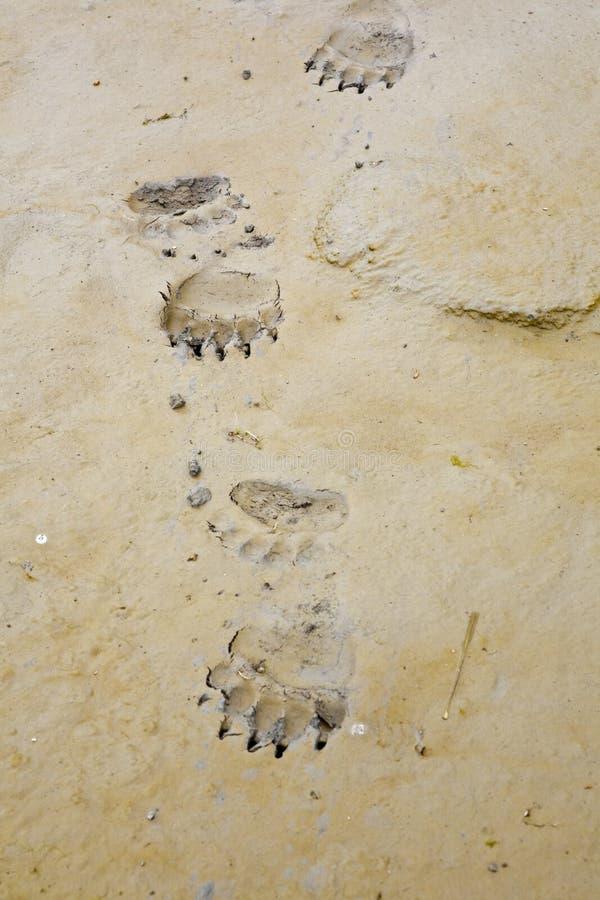 Alaskan brown bear tracks grizzly royalty free stock image