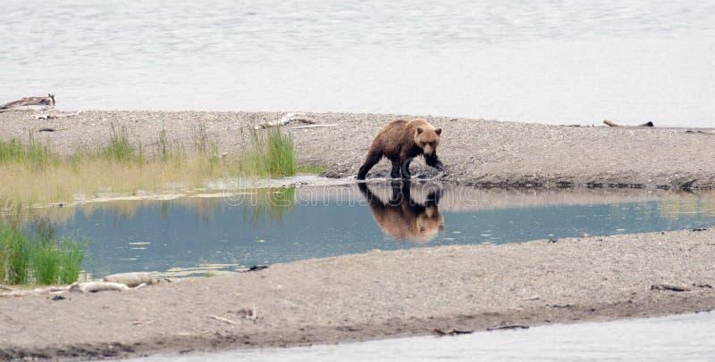 Alaskan brown bear walking along the shore royalty free stock photos