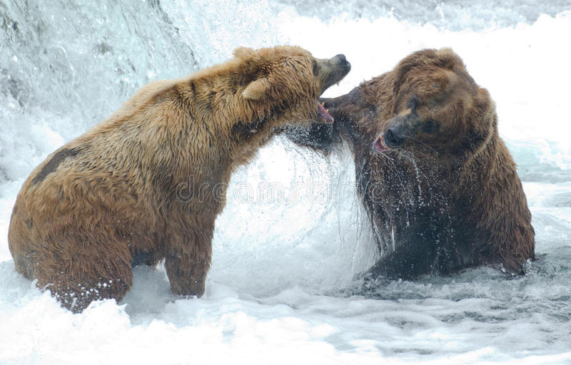 Alaskan brown bears fighting. Two Alaskan brown bears fight at Brooks Falls in Katmai National Park royalty free stock images