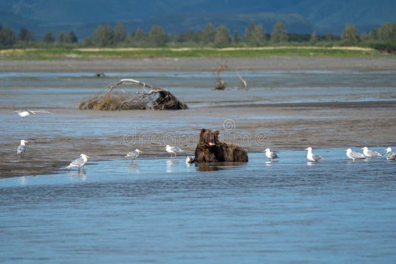 Alaskan coastal brown bear eats a salmon fish he caught stock image