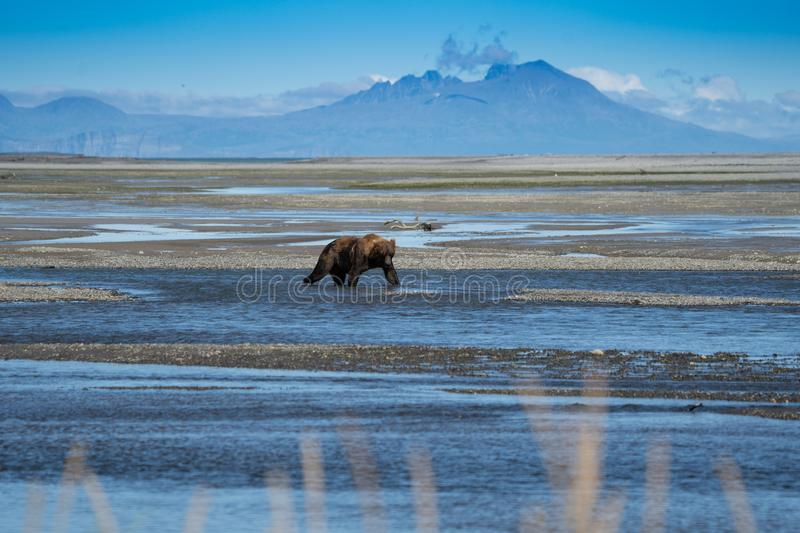 Alaskan Coastal Brown Bear grizzly searches for fish in a river in Katmai National Park, sitting on a sandbar stock photo