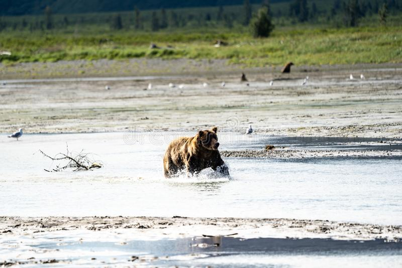 Alaskan Coastal Brown Bear grizzly splashes in the river looking stock photos