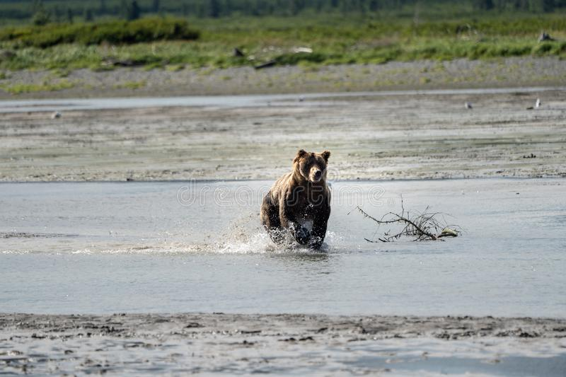 Alaskan Coastal Brown Bear grizzly splashes and runs in the rive royalty free stock images