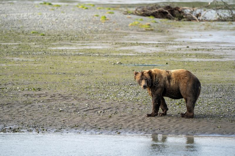 Alaskan coastal brown bear grizzly walks along the beach fishing for salmon fish stock photos