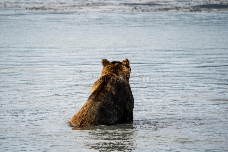 Back view of Alaskan coastal brown grizzly bear sits in water as he fishes fo stock images