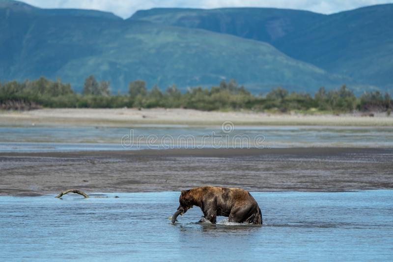 Alaskan coastal grizzly brown bear grabs a salmon fish in the river stock photo