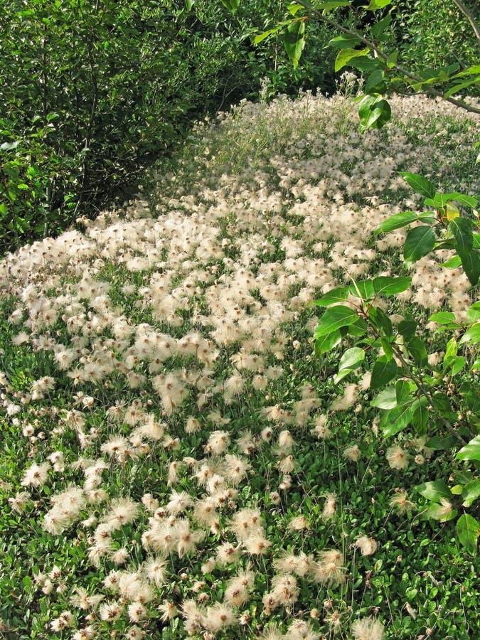 Download Alaskan Cotton Grass stock image. Image of flora, grass - 28834533