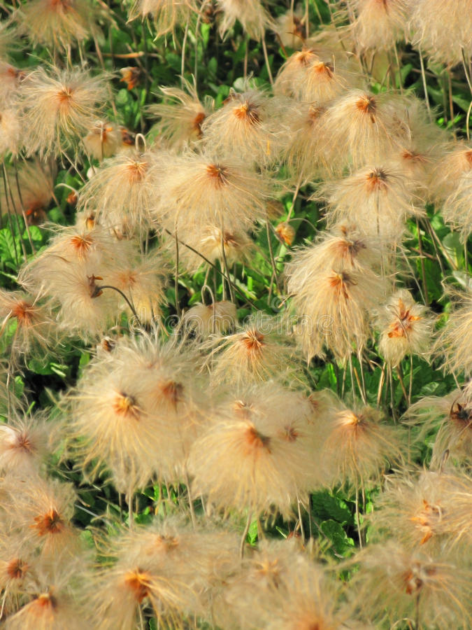 Download Alaskan Cotton Grass - Close-up Stock Image - Image: 28834541