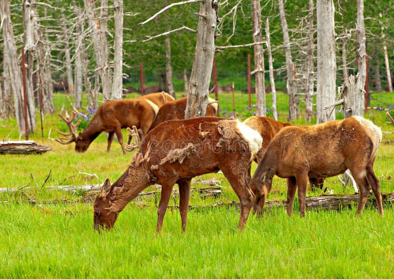 Alaskan deer stock photos