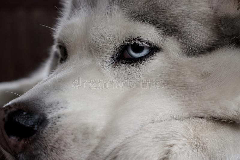 Alaskan dog husky face close up with blue eyes. Canine face portrait. stock images